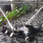 Halloween is not for every cat