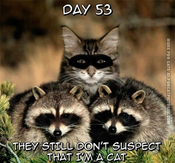 The raccoons suspect nothing